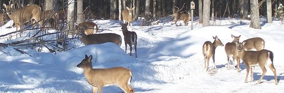 deer at sporting camp in winter