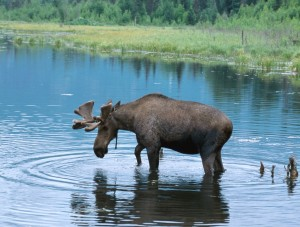 Bull Moose in Maine